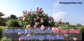 cách trồng và chăm sóc cây hoa hồng