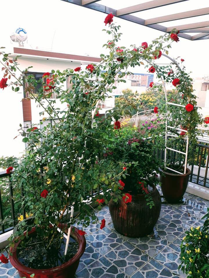 cây hoa hồng ngoại
